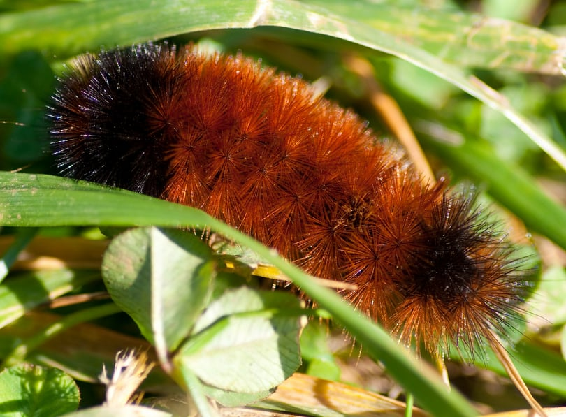 Wooly Bear on grass stem